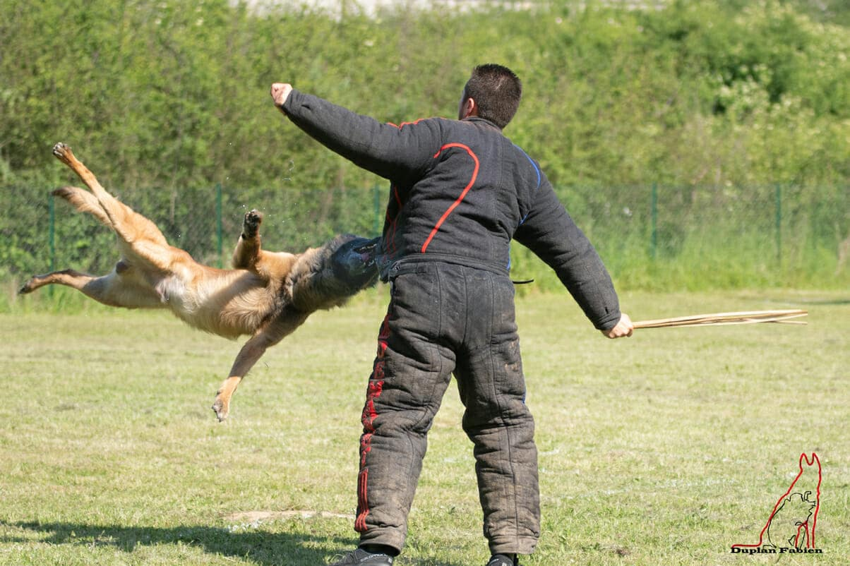 ADAR Ring Malinois